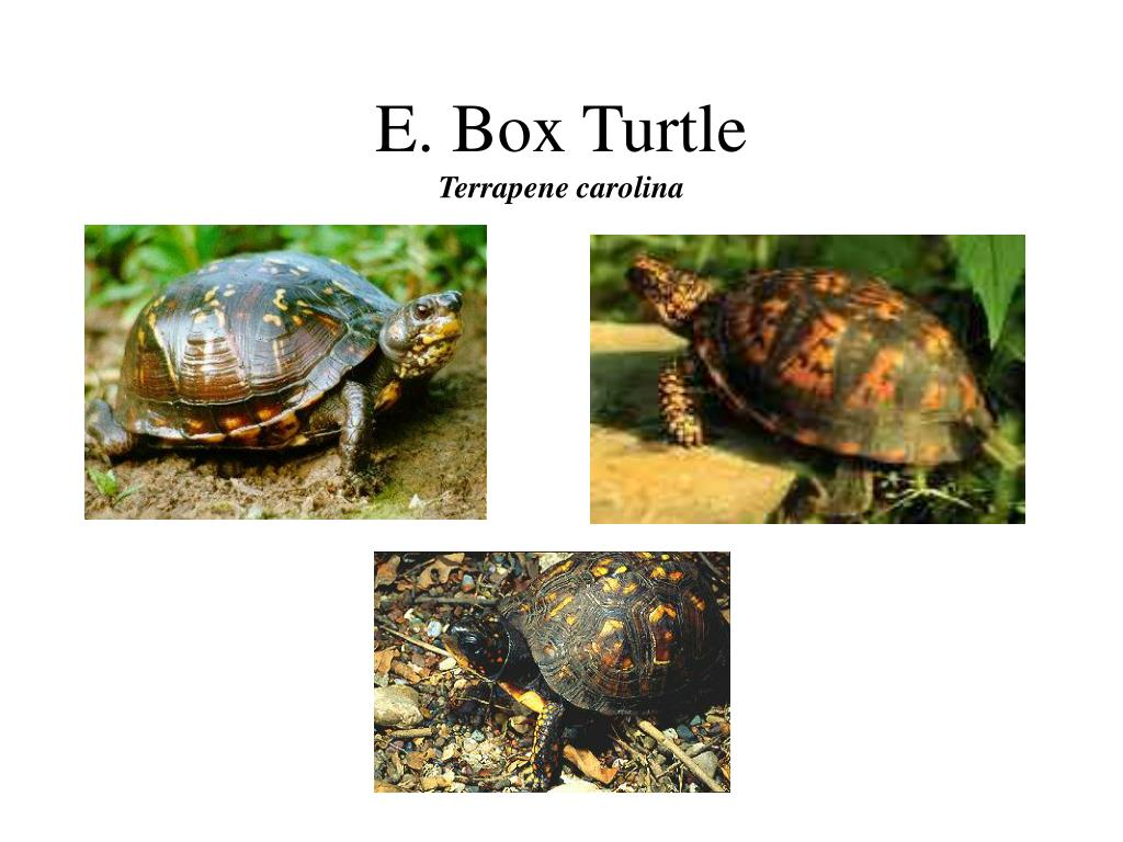 E. Box Turtle
