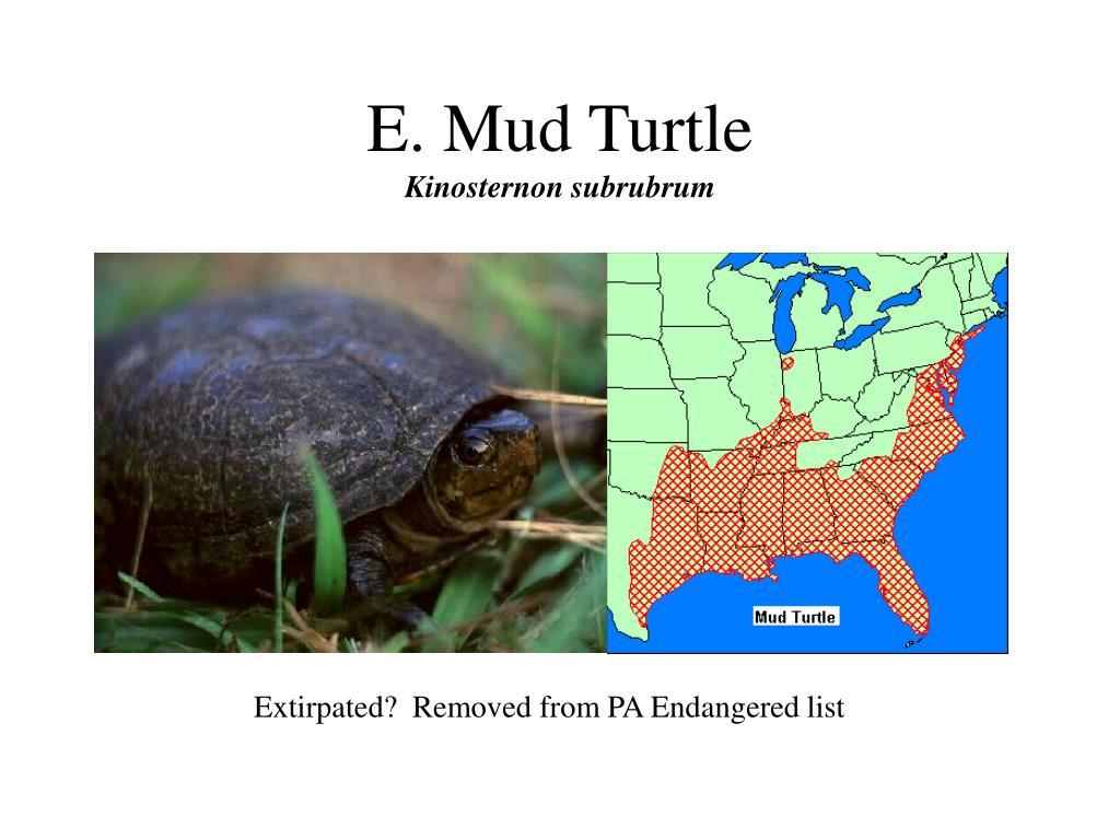 E. Mud Turtle