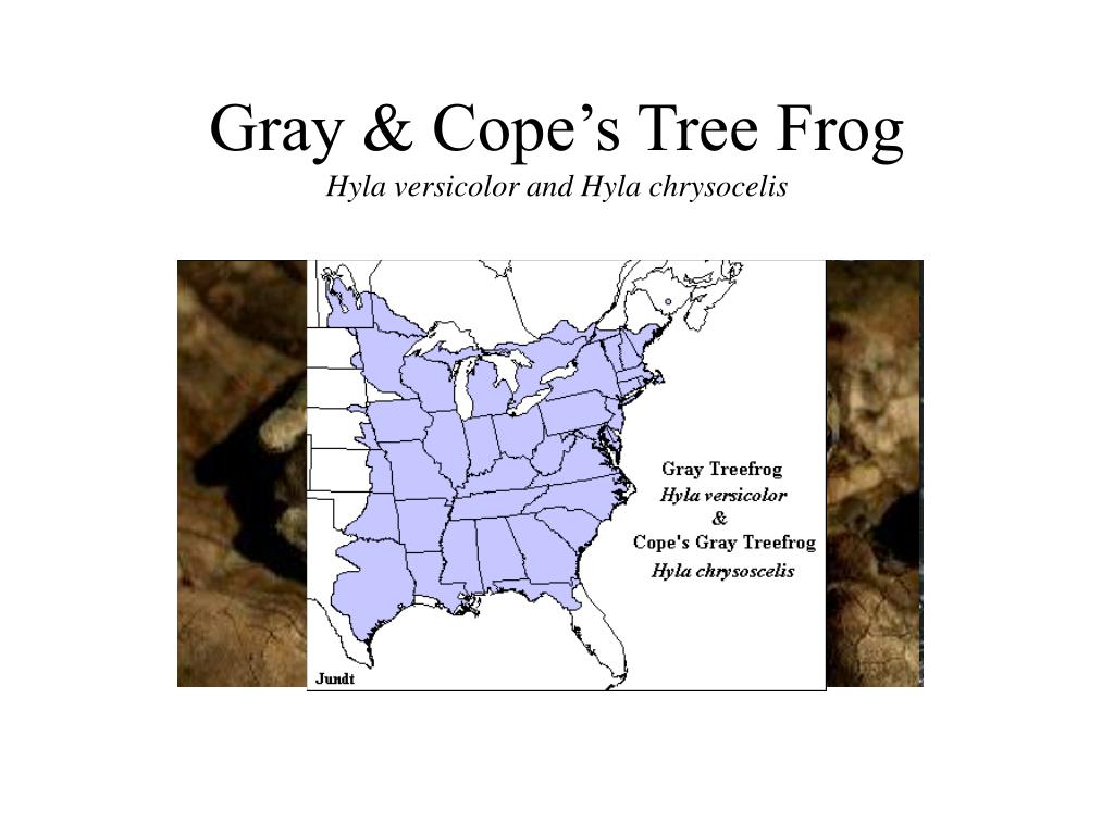 Gray & Cope's Tree Frog