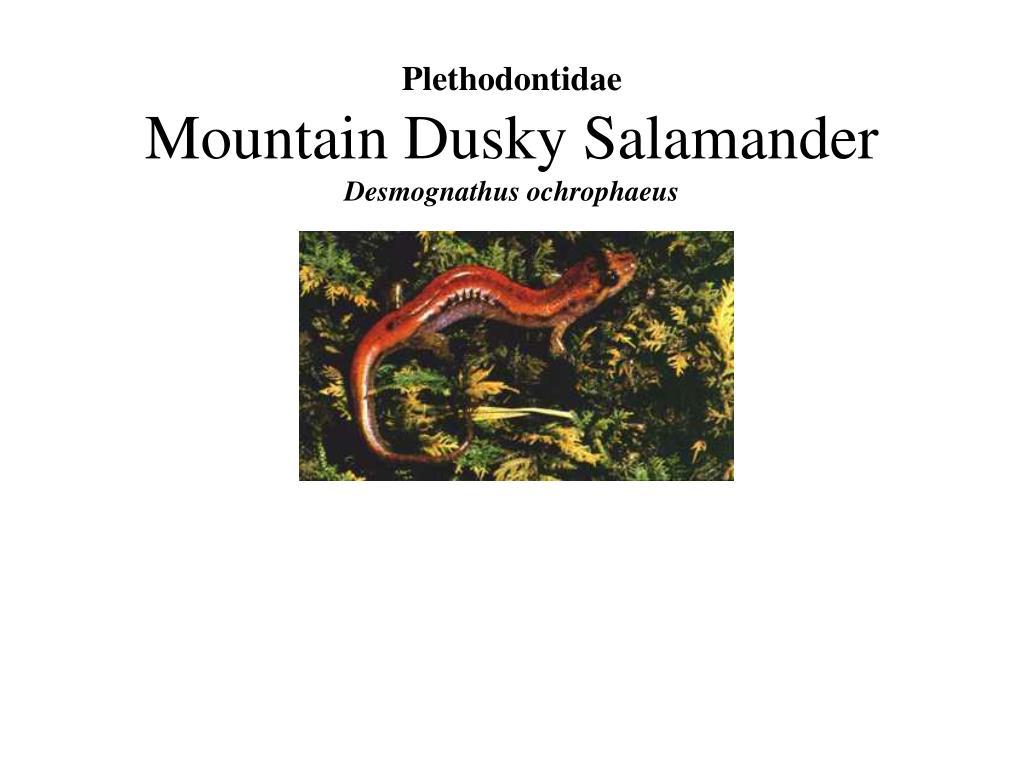 Plethodontidae