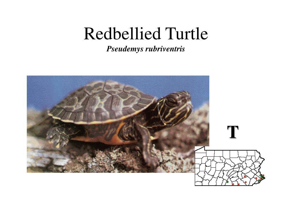 Redbellied Turtle