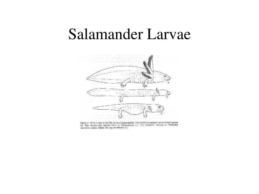 Salamander Larvae