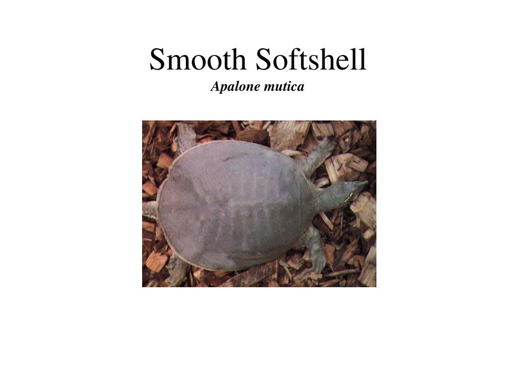 Smooth Softshell
