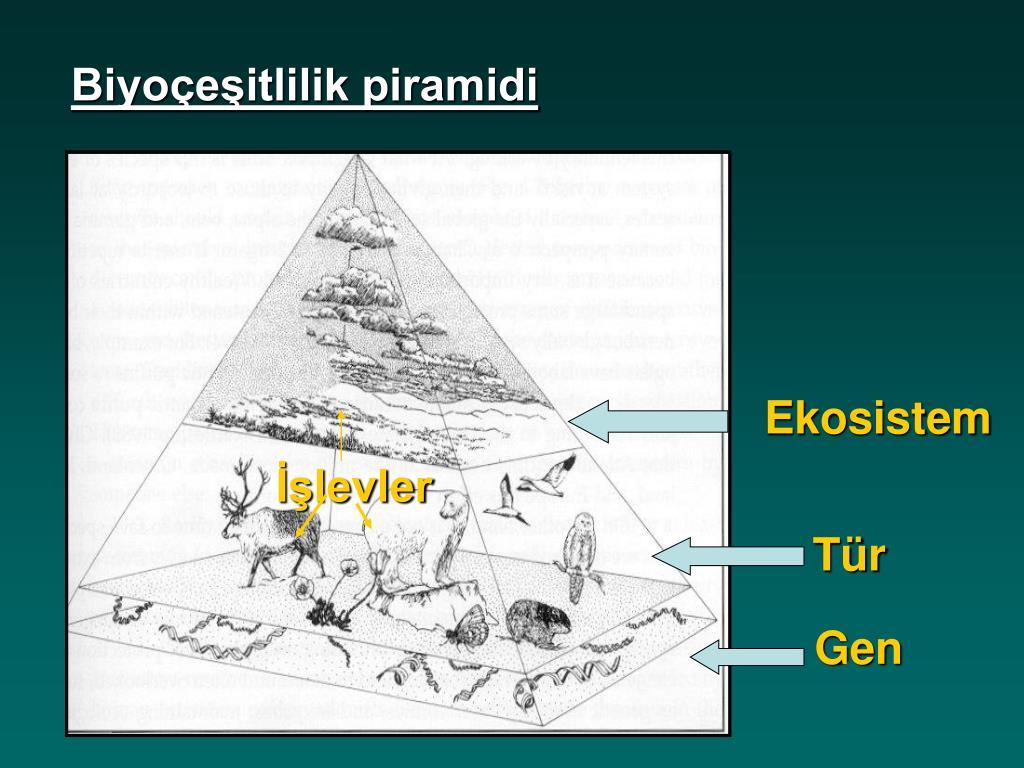 Biyoçeşitlilik piramidi
