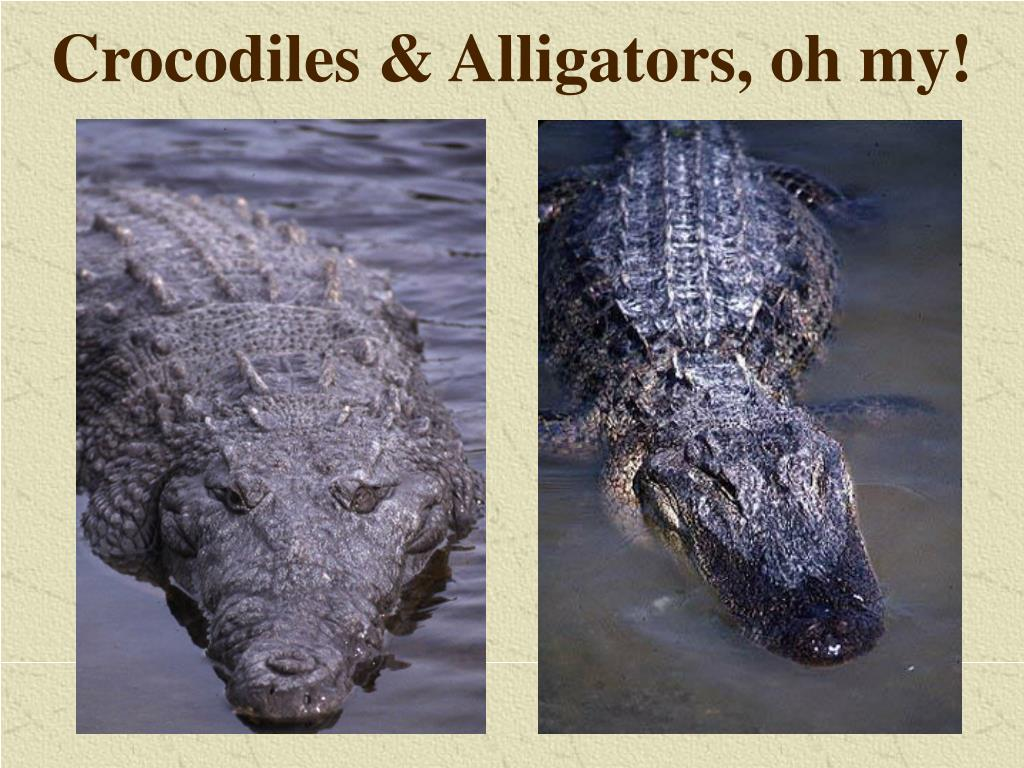 Crocodiles & Alligators, oh my!