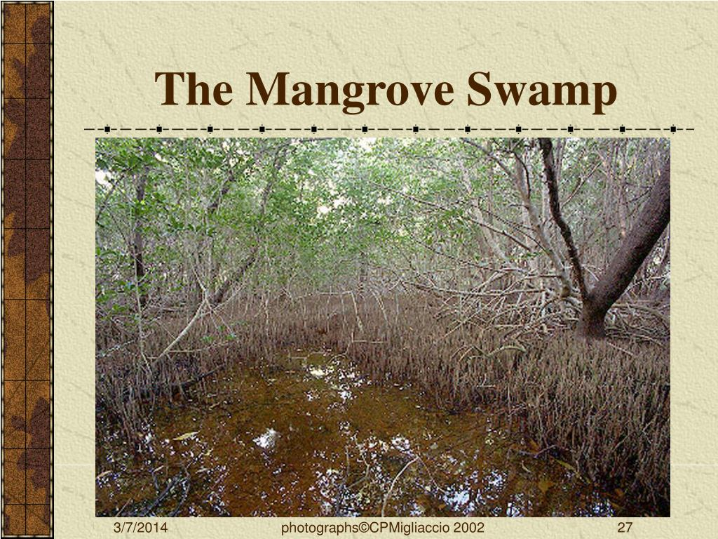 The Mangrove Swamp