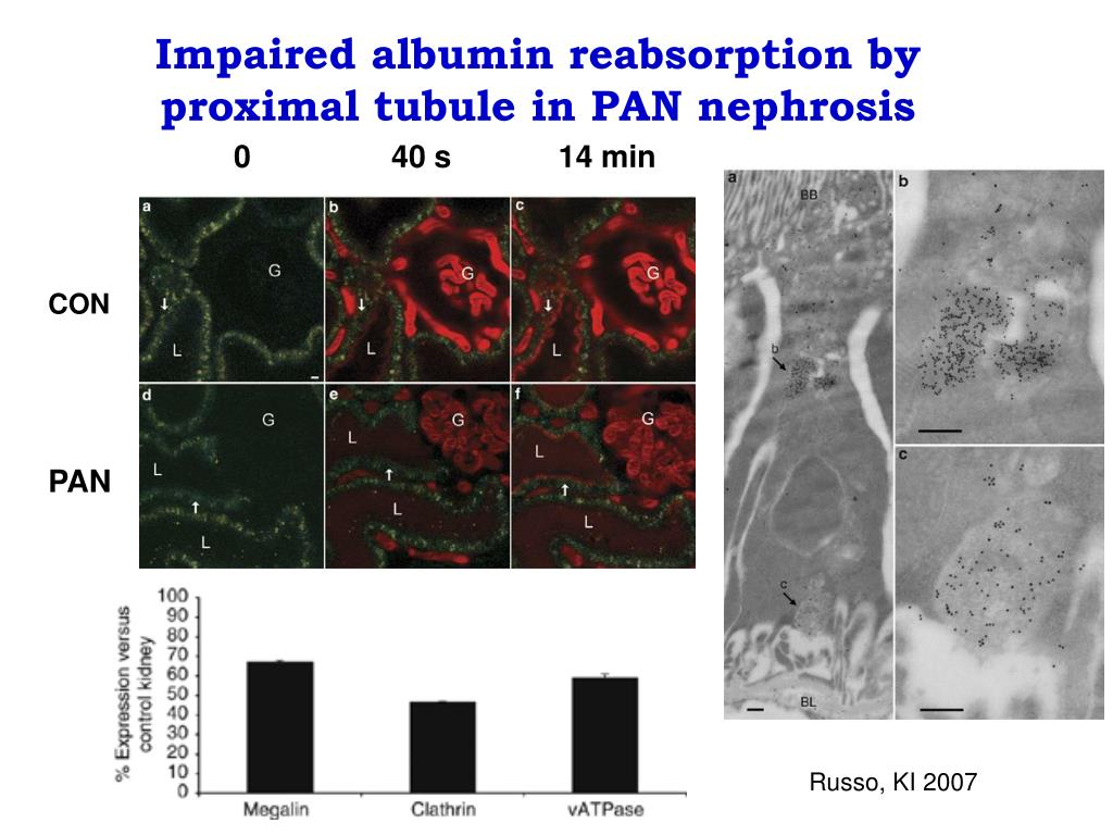 Impaired albumin reabsorption by proximal tubule in PAN nephrosis