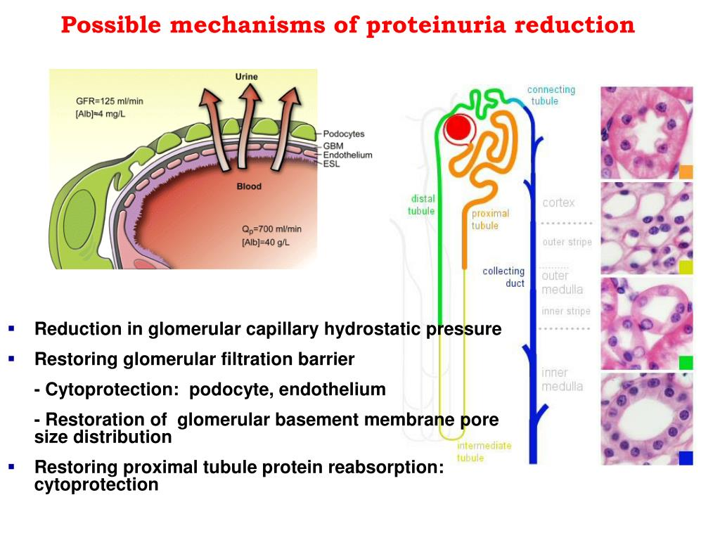 Possible mechanisms of proteinuria reduction