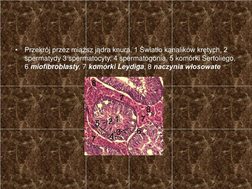 Przekrój przez miąższ jądra knura. 1 Światło kanalików krętych, 2 spermatydy 3 spermatocyty, 4 spermatogonia, 5 komórki Sertoliego, 6
