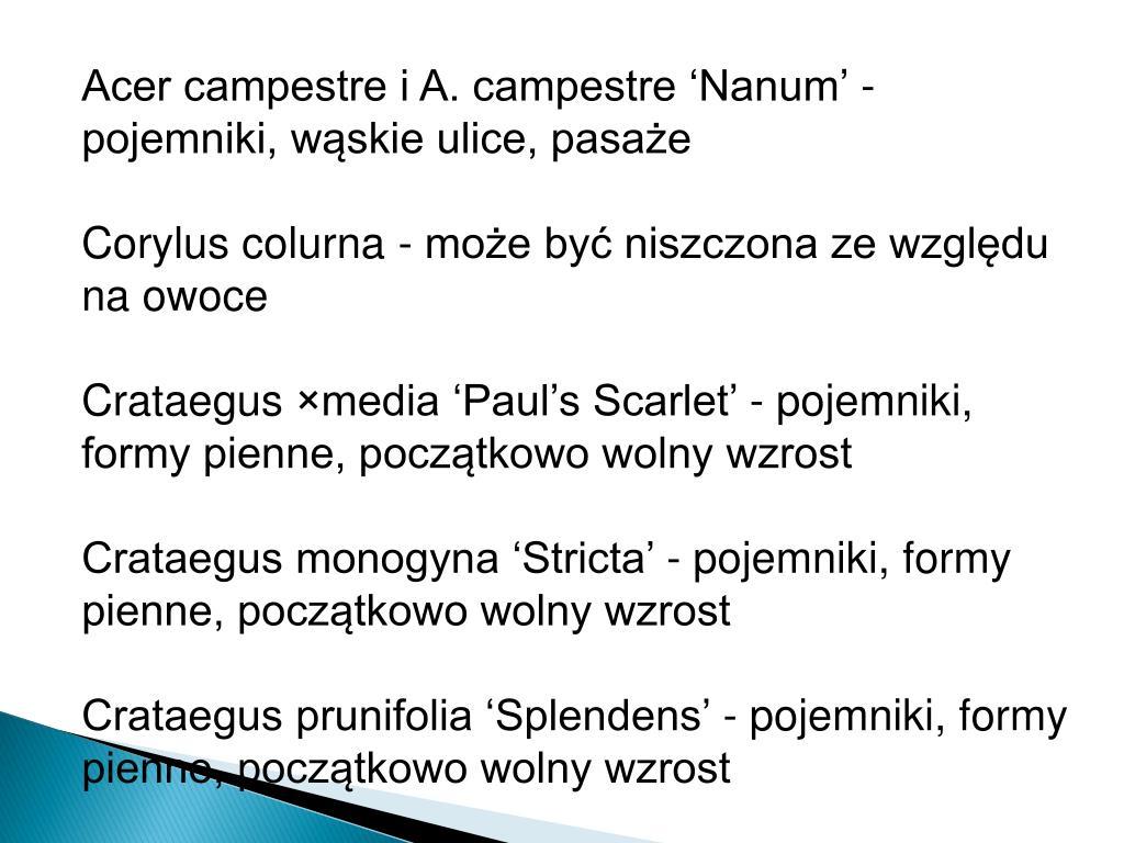 Acer campestre i A. campestre 'Nanum' -