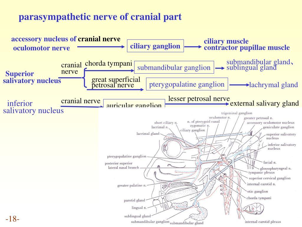 parasympathetic nerve of cranial part