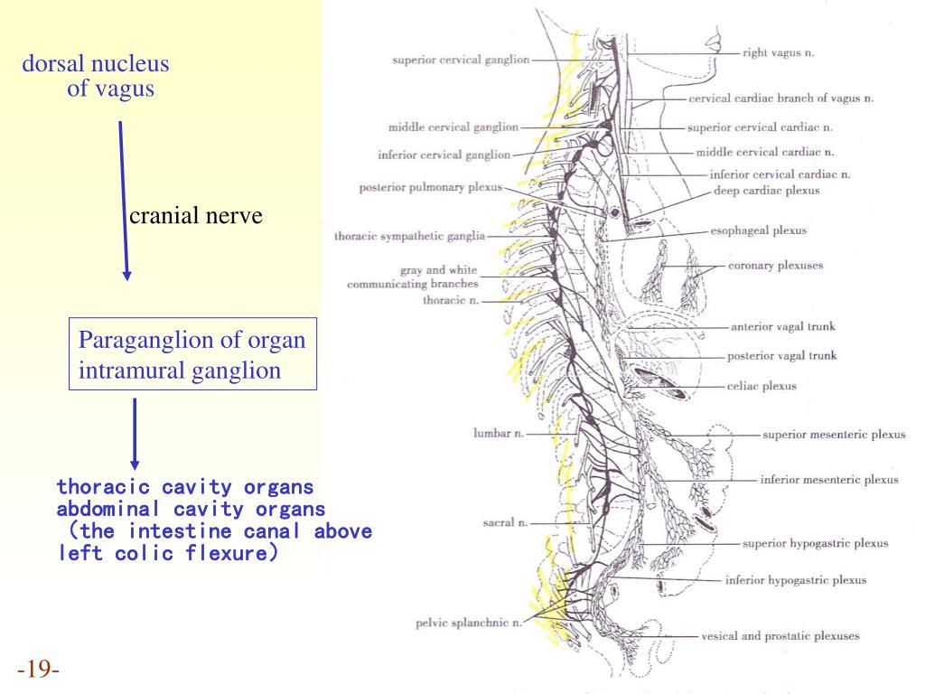 dorsal nucleus