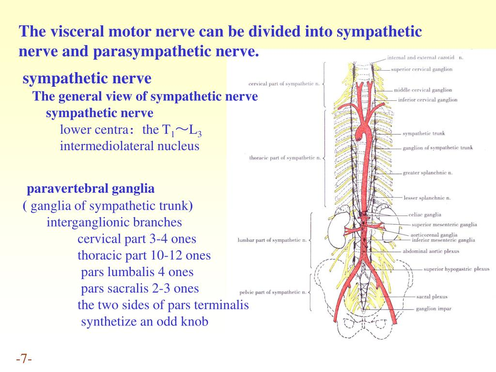 The visceral motor nerve can be divided into sympathetic nerve and parasympathetic nerve.