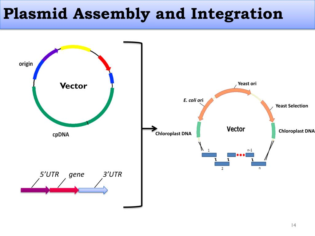 Plasmid Assembly and Integration