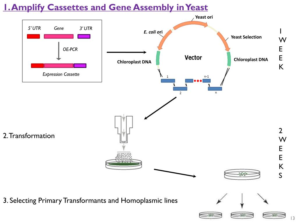 1. Amplify Cassettes and Gene Assembly in Yeast