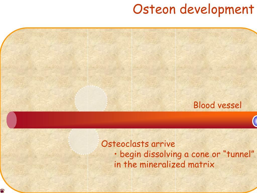 Osteon development