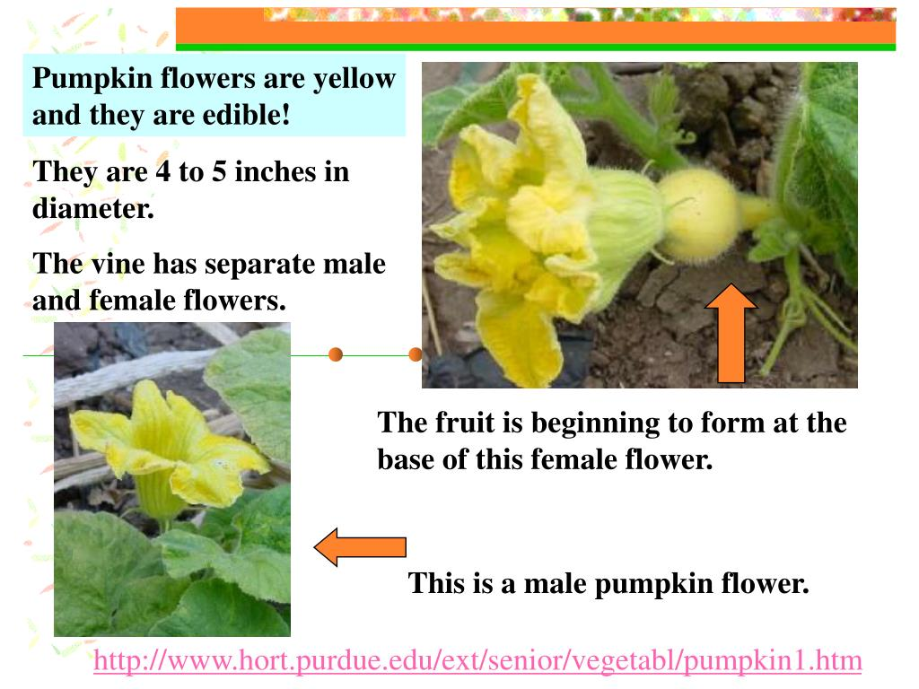 Pumpkin flowers are yellow and they are edible!