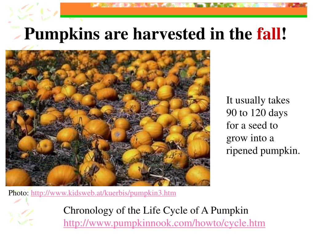 Pumpkins are harvested in the