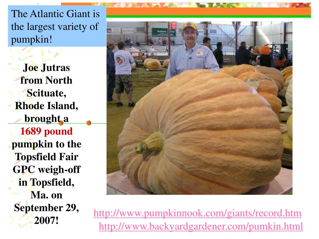 The Atlantic Giant is the largest variety of pumpkin!