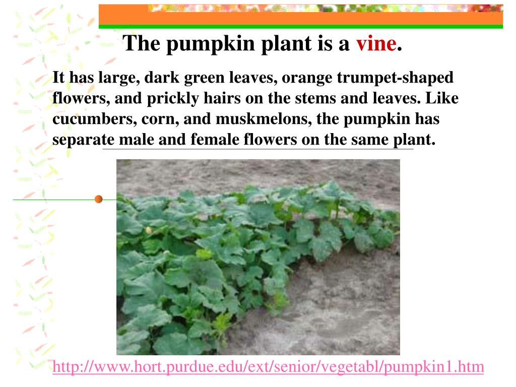 The pumpkin plant is a