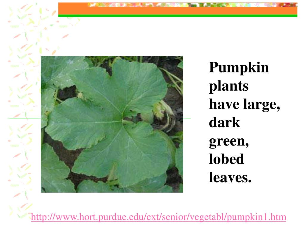 Pumpkin plants have large, dark green, lobed leaves.