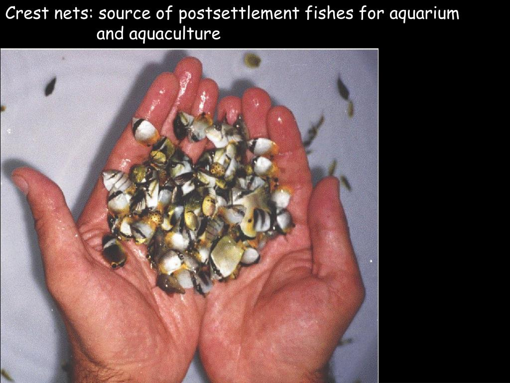 Crest nets: source of postsettlement fishes for aquarium