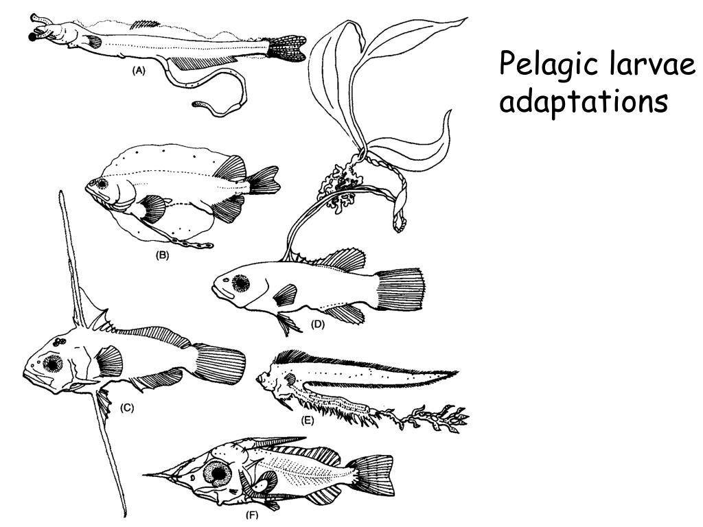 Pelagic larvae