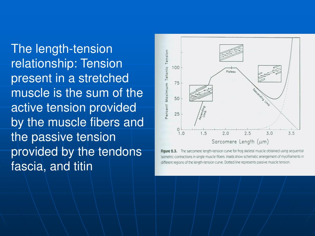 The length-tension relationship: Tension present in a stretched muscle is the sum of the active tension provided by the muscle fibers and the passive tension provided by the tendons fascia, and titin