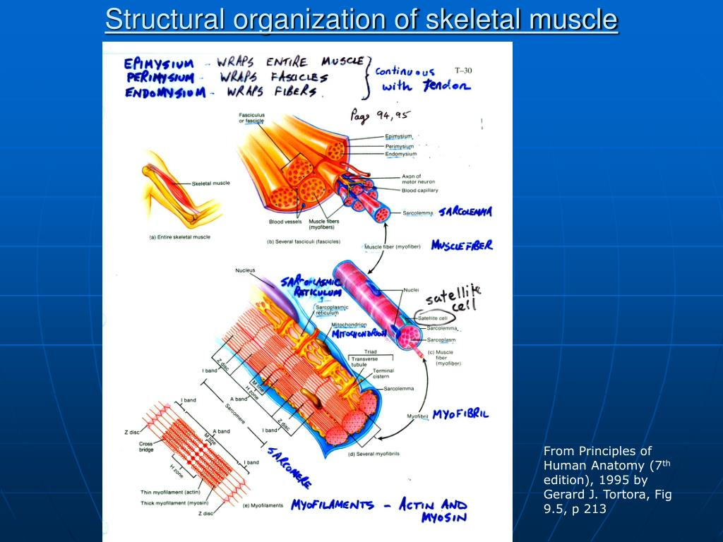 Structural organization of skeletal muscle