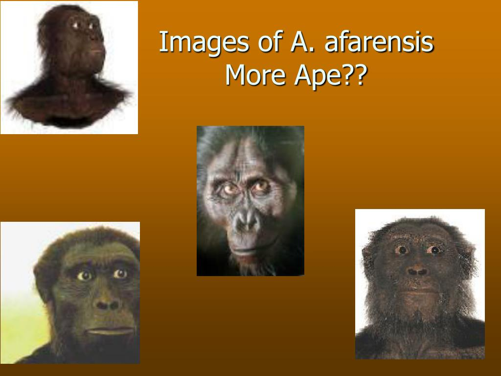 Images of A. afarensis