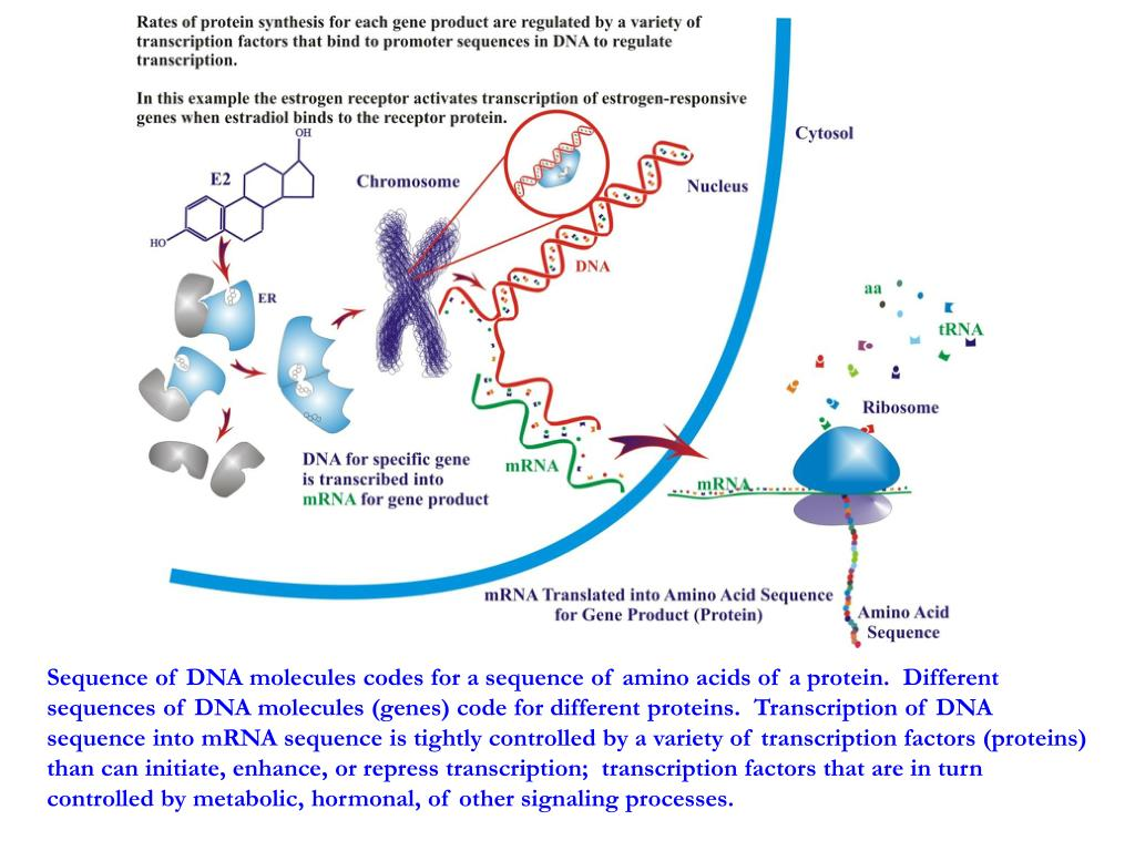 Sequence of DNA molecules codes for a sequence of amino acids of a protein.  Different sequences of DNA molecules (genes) code for different proteins.  Transcription of DNA sequence into mRNA sequence is tightly controlled by a variety of transcription factors (proteins) than can initiate, enhance, or repress transcription;  transcription factors that are in turn controlled by metabolic, hormonal, of other signaling processes.