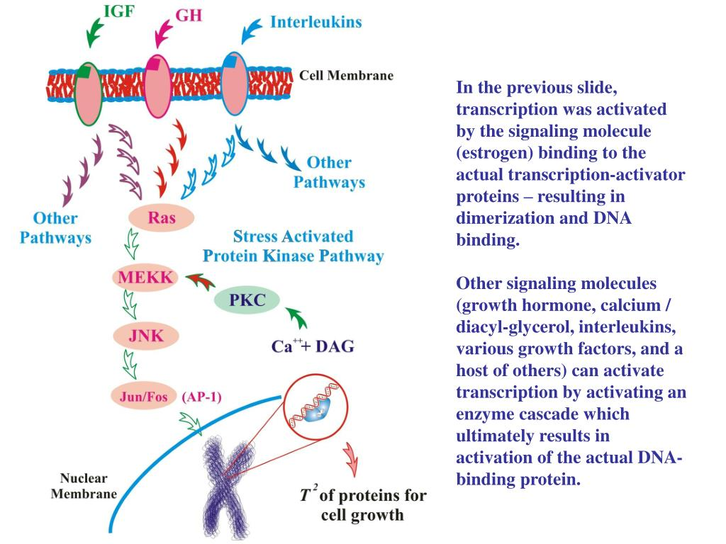 In the previous slide, transcription was activated by the signaling molecule (estrogen) binding to the actual transcription-activator proteins – resulting in dimerization and DNA binding.