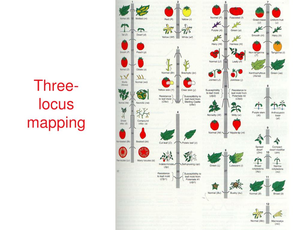 Three-locus mapping