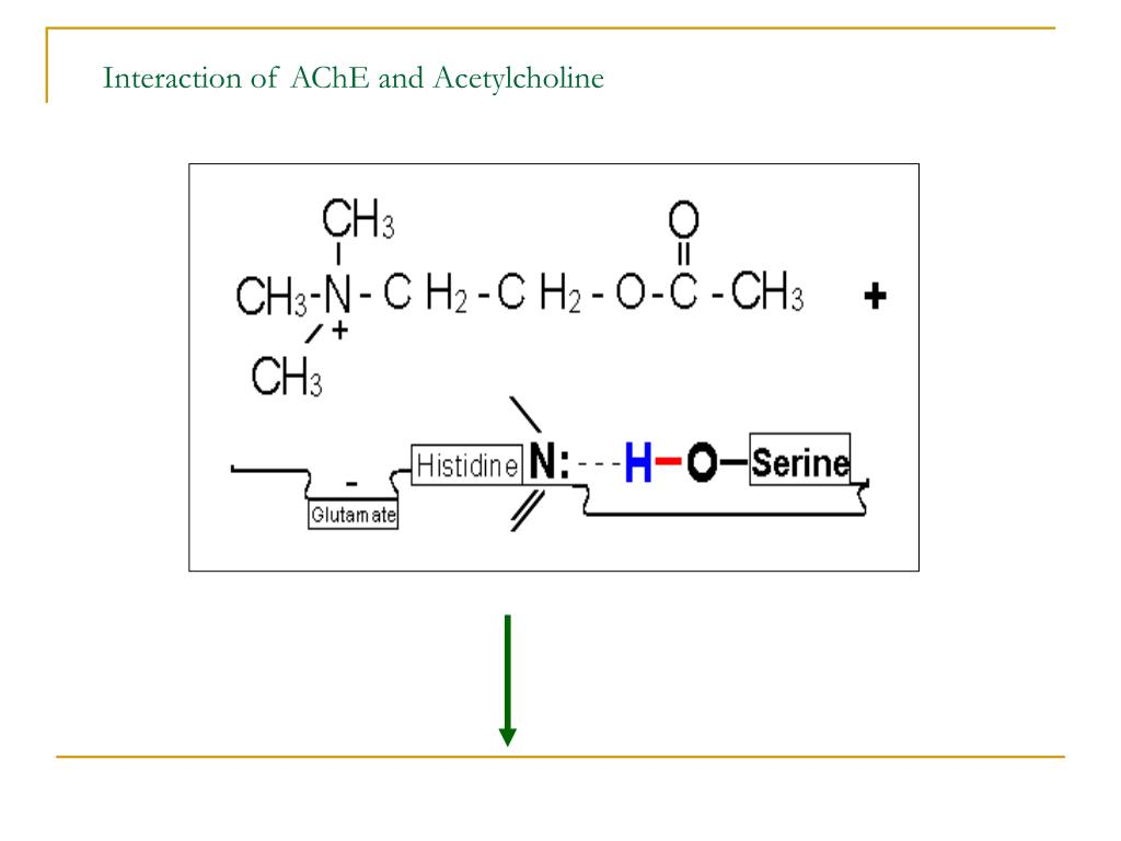Interaction of AChE and Acetylcholine