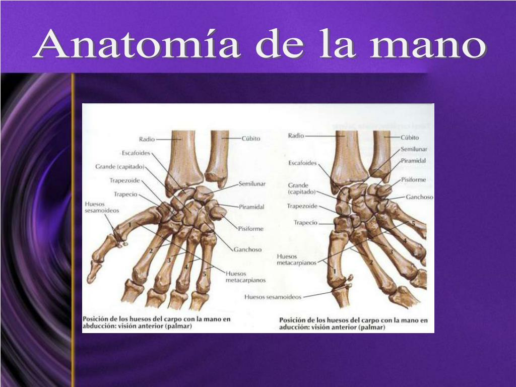 Anatomía de la mano