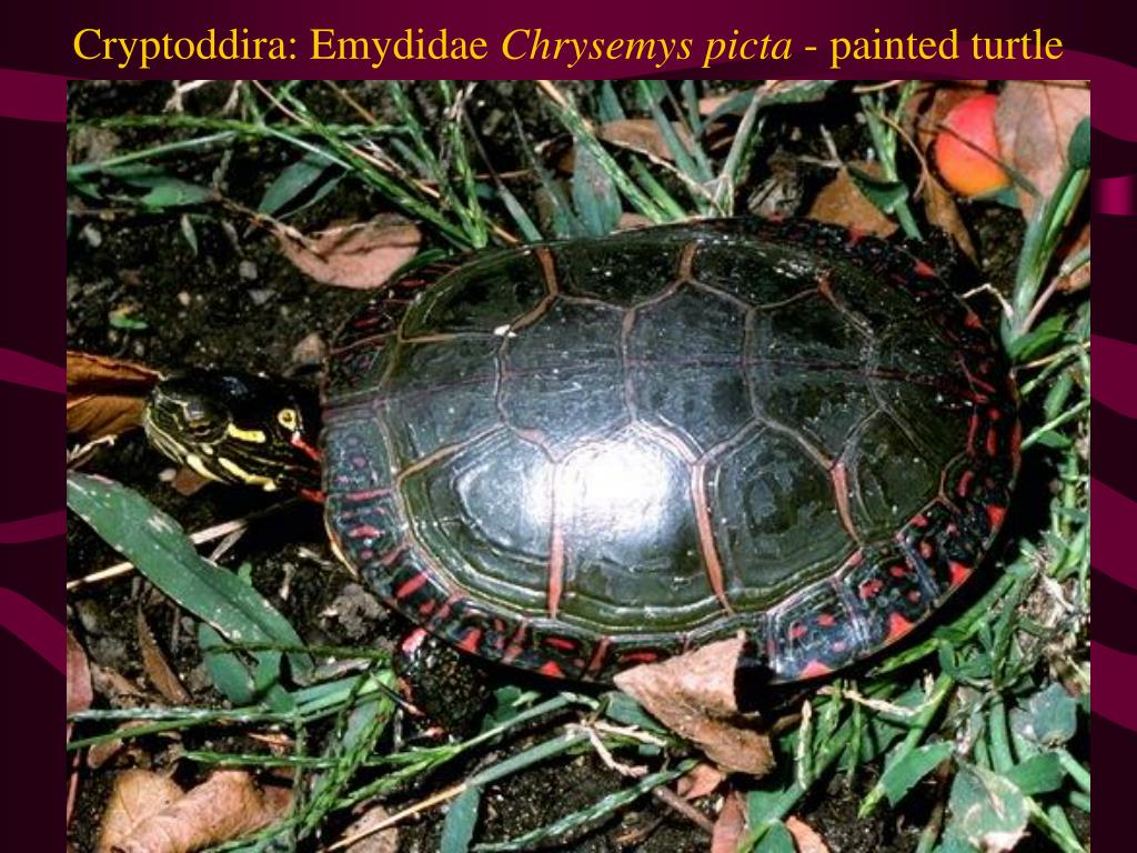 Cryptoddira: Emydidae