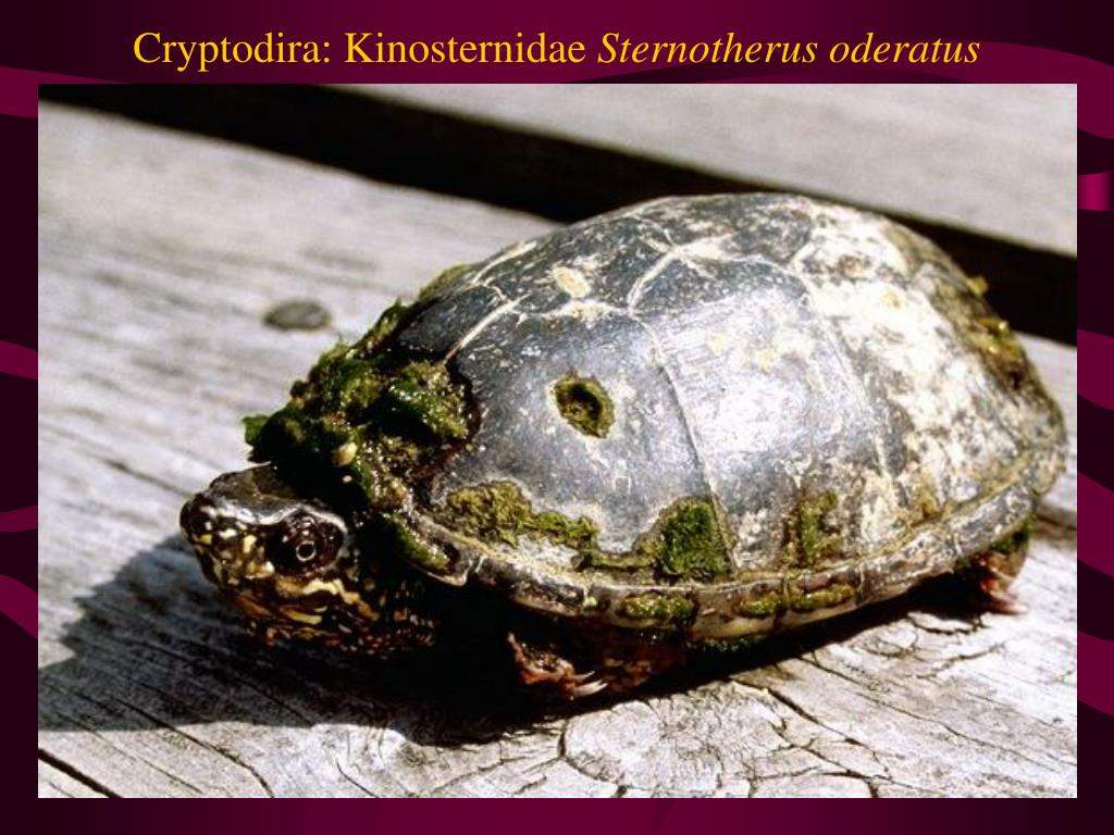 Cryptodira: Kinosternidae