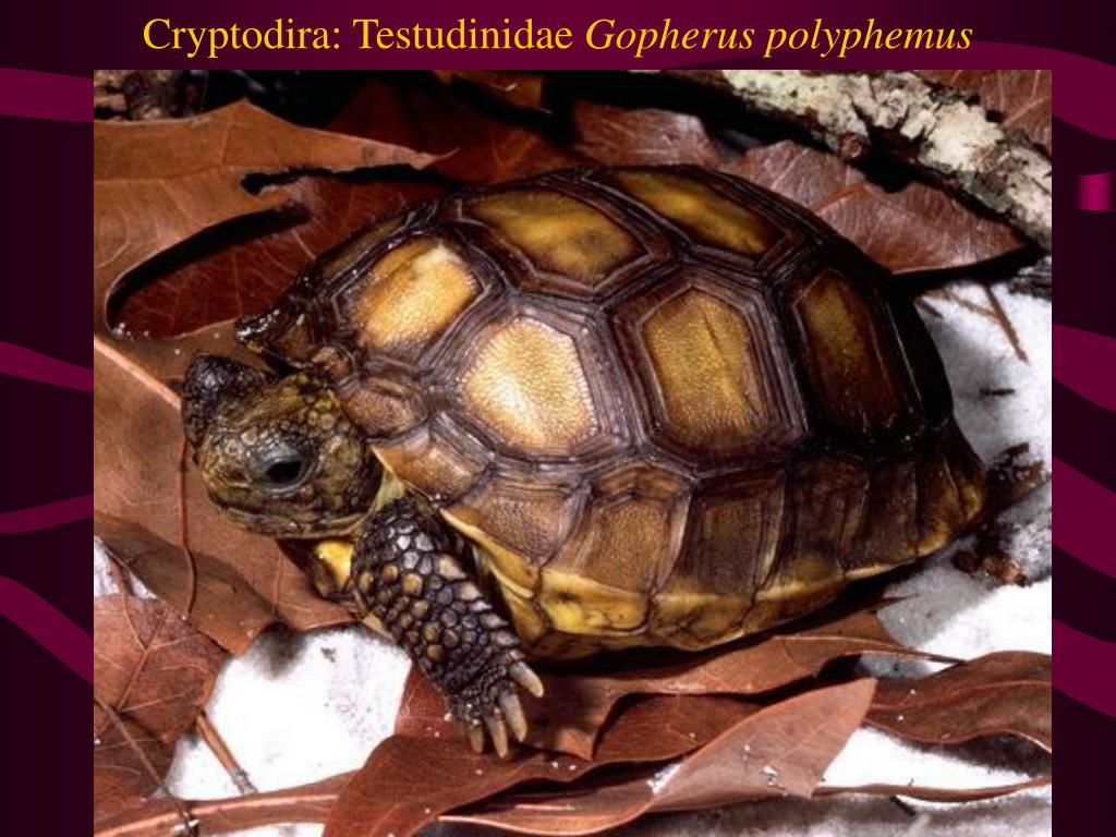 Cryptodira: Testudinidae
