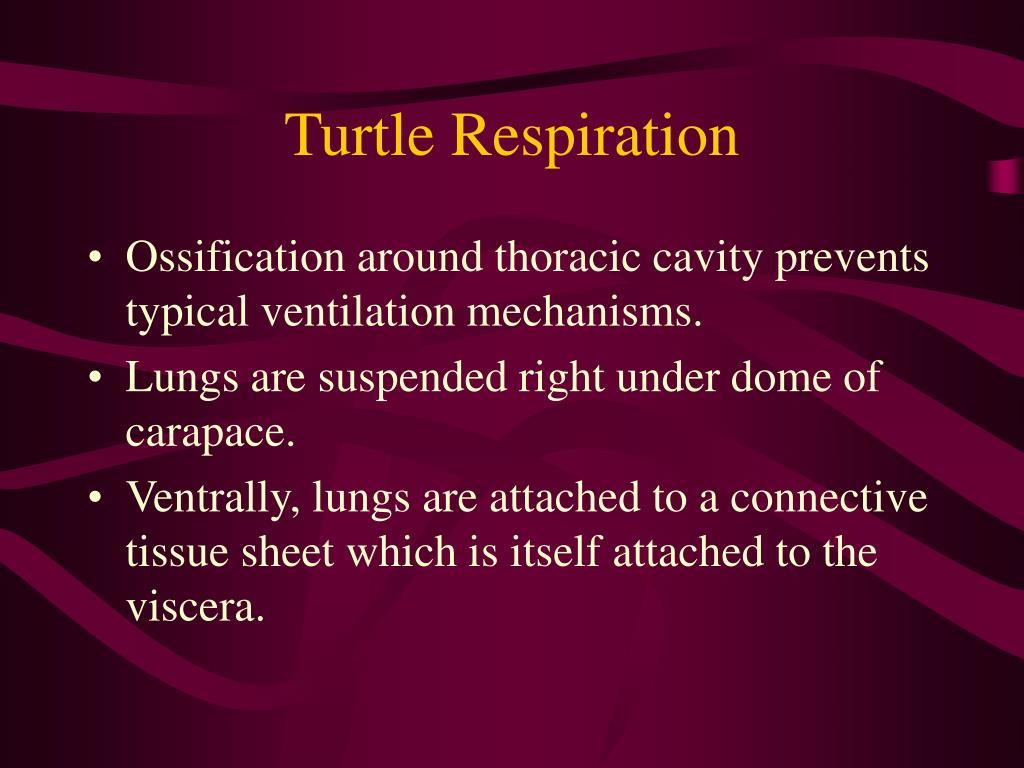 Turtle Respiration
