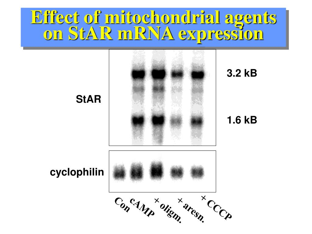Effect of mitochondrial agents  on StAR mRNA expression