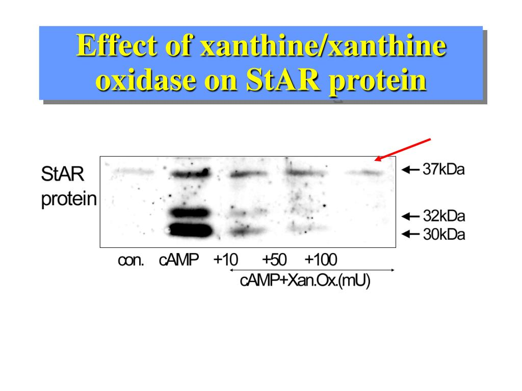 Effect of xanthine/xanthine oxidase on StAR protein