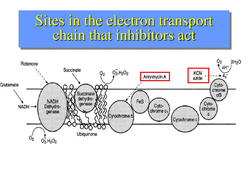 Sites in the electron transport chain that inhibitors act