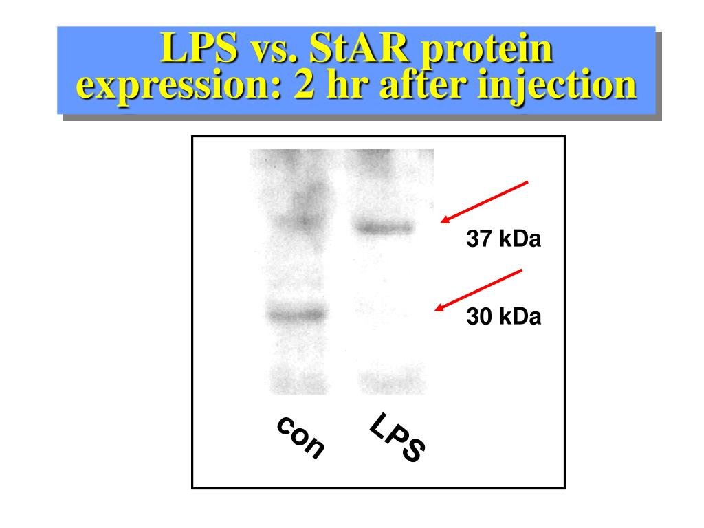 LPS vs. StAR protein expression: 2 hr after injection
