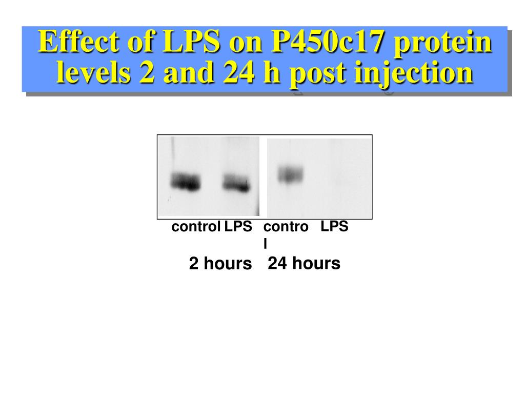 Effect of LPS on P450c17 protein levels 2 and 24 h post injection
