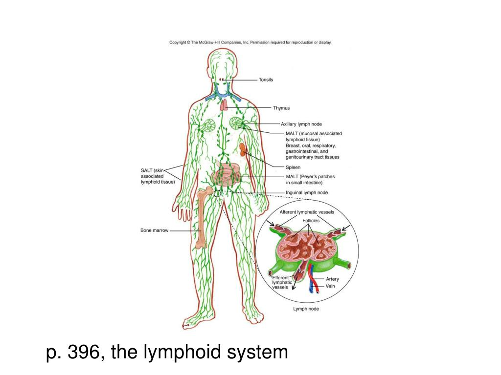p. 396, the lymphoid system