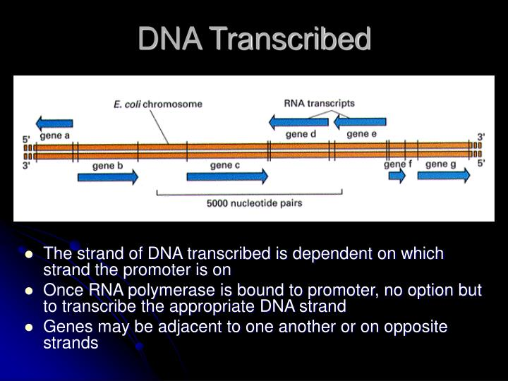 DNA Transcribed