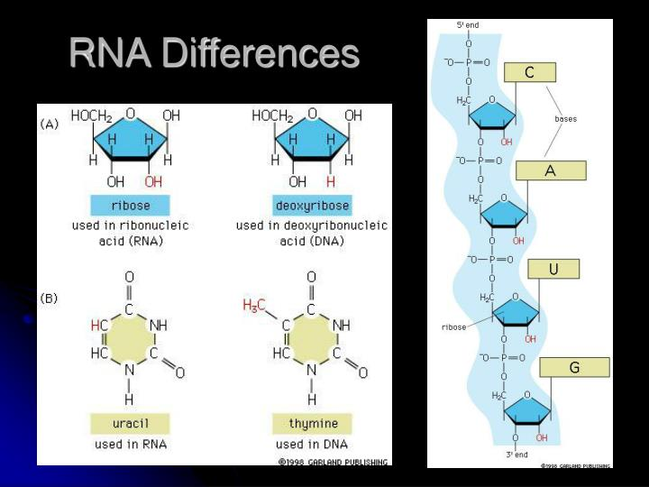 RNA Differences