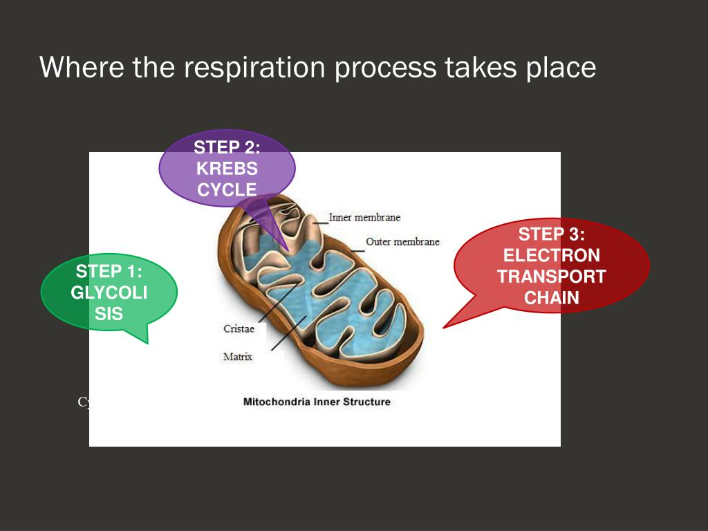 Where the respiration process takes place