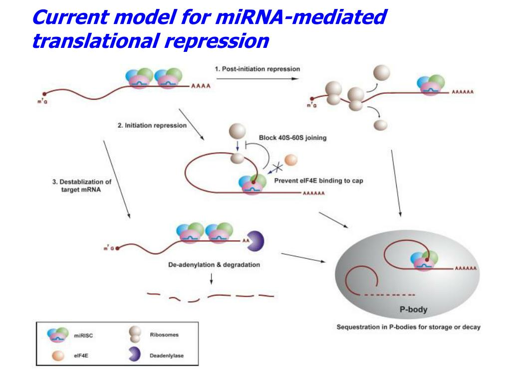 Current model for miRNA-mediated translational repression