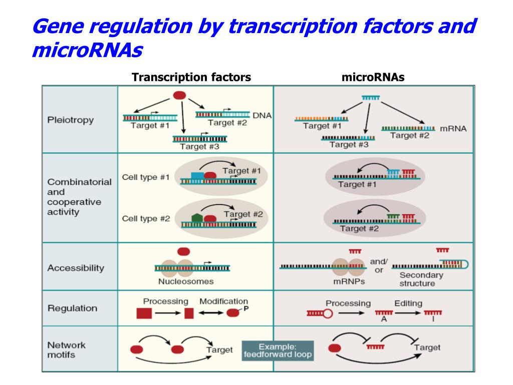 Gene regulation by transcription factors and microRNAs